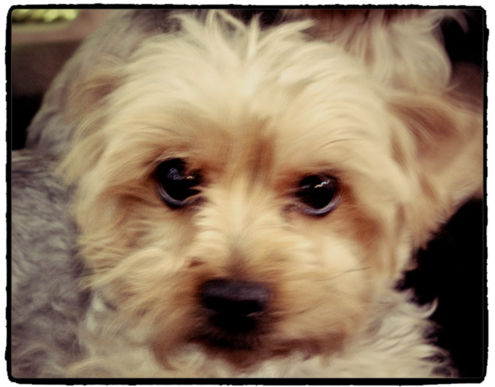 Violette : therapy yorkshire terrier for children with autism and other special needs at LE CHEMIN ABA in Paris, France.