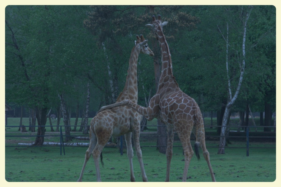 Giraffes at the Thoiry Zoo. Special Learning House. www.speciallearninghouse.com