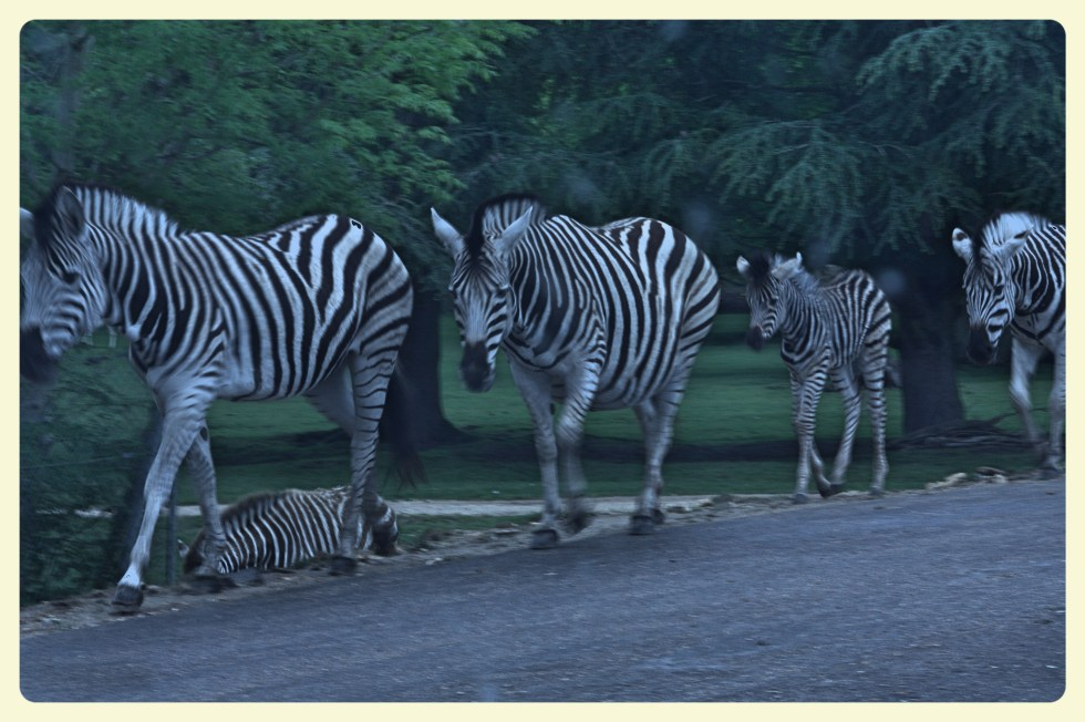 Zebras at the Thoiry Zoo. Special Learning House. www.speciallearninghouse.com