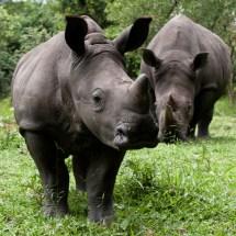 Uganda Rhinos at Ziwa