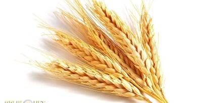 wheat2-1024x640