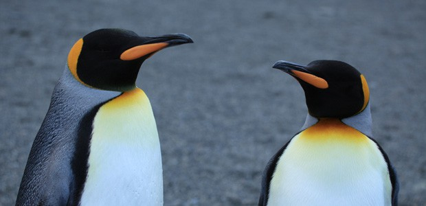 King Penguins, photo by Liam Quinn