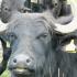Orkney Buffalo