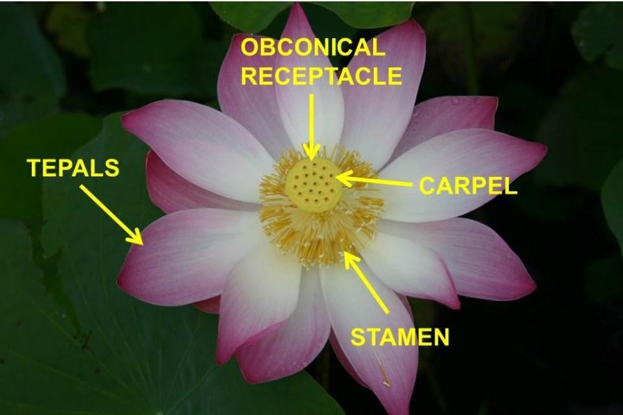 Lotus Anatomy
