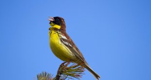 Yellow breasted bunting (c) Shutterstock