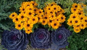 Rudbeckia and Cabbage