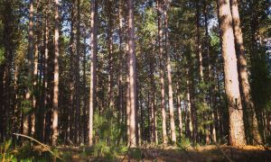 Red pine plantation near Trego, Wis. (Photo by Andy Wright)