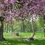 Kirschblüten im Oldesloer Kurpark