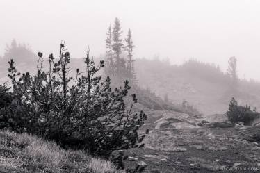 A black and white photograph of alpine trees as seen on a foggy, late Summer day during a visit to the Sunrise area of Mount Rainier National Park, Washington.