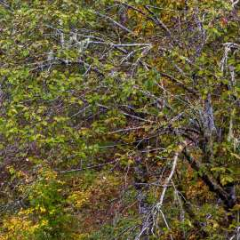 Autumn Alder, Mountain Loop Highway, Washington, 2015