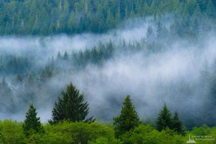 A landscape photograph of the springtime forest on a misty day in the Snoqualmie Valley near Bandera, Washington.
