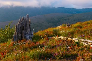 A photograph of the early Summer alpine meadows at the Johnston Ridge Observatory near Mount Saint Helens, Washington.