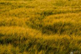 An abstract nature photograph of a barley field at Ebey's Landing on Whidbey Island near Coupeville, Washington.