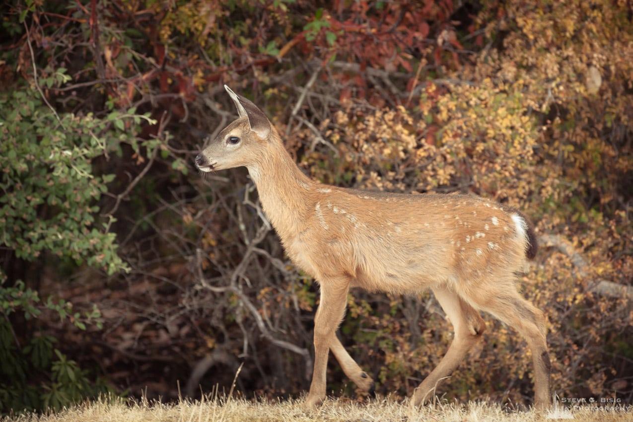 Fawn Blacktail Deer, Anacortes, Washington, 2016