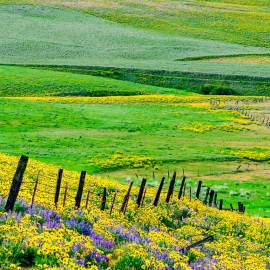 Spring Wildlowers Along the Fenceline, Columbia Hills State Park, Washington, 2014