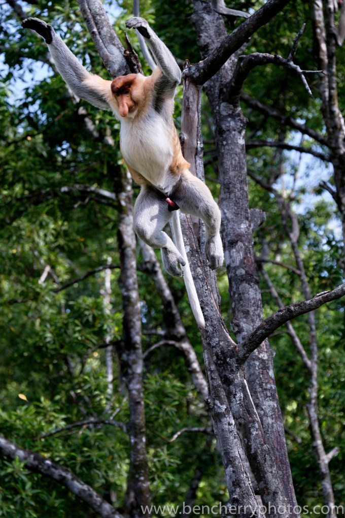 Certain things stand out in this picture.. Male proboscis monkeys have a permanent erection and when they're not eating on have one thing on their mind.