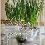 CHRISTMAS PAPERWHITES