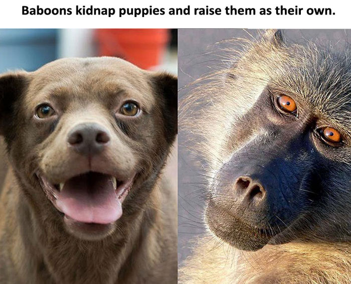 7th-baboons-and-dogs
