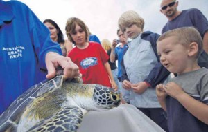 Releasing Green Sea Turtle at Byron Bay, Photo © Jeff Dawson, The Echo