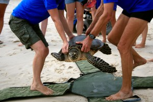 Australian Seabird Rescue release a turtle back to the sea