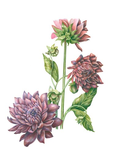 Dahlias by Anna Rosenthal