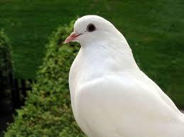 في ظاهرة غريبة من نوعها بالقضارف حمامة تحضن بيض لدجاجة نفقت وتخرج كتاكيتها للحياة