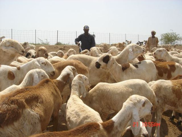 د. عادل الصادق المكي : خروف والاّ أقوم جاري!