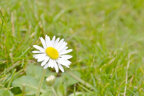 How does your garden grow Daisy Flower