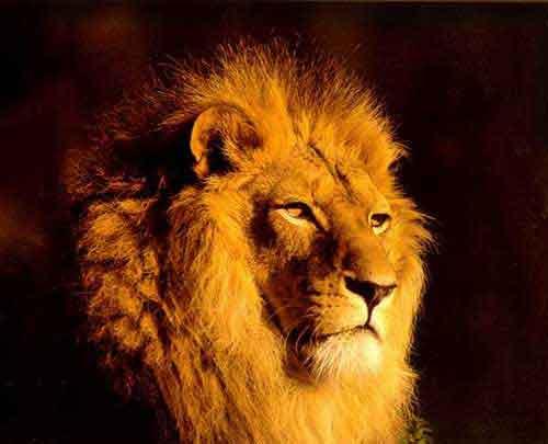Lion le roi de la jungle