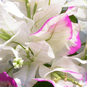 Imperial Thai Delight Bougainvillea