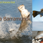 GOOD news for fishermen hoping to reel in a monster – barramundi season is back and the fish are bigger than ever