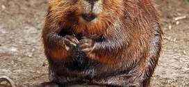 Beaver Animal Totem Symbolism & Meanings