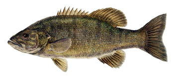Smallmouth Bass Picture to help explain Smallmouth Bass Facts about Fishing