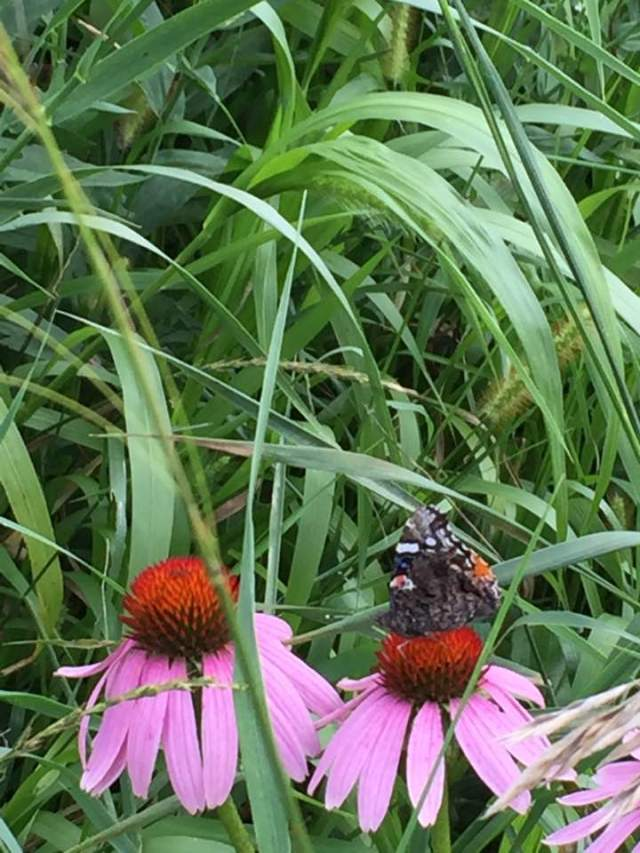 purple coneflower with butterfly