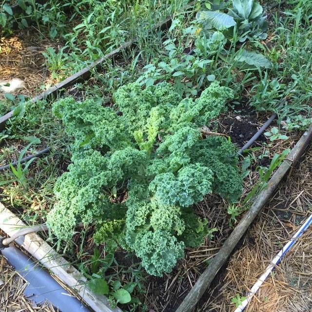 short kale