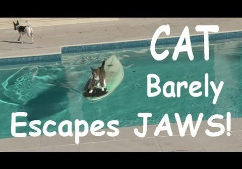 Cool cat escapes dog by surfing across swimming pool