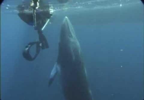Dwart Minke Whales Make Star Wars Blaster Noises Underwater