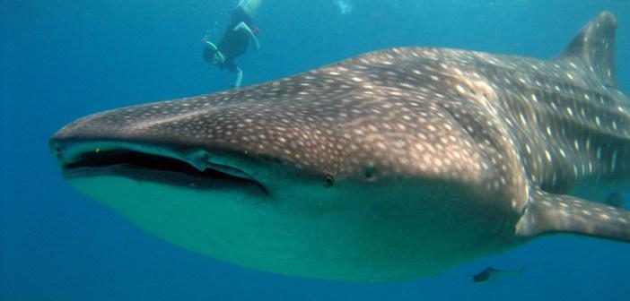 4072984589_f1e4267138_b_whale-shark