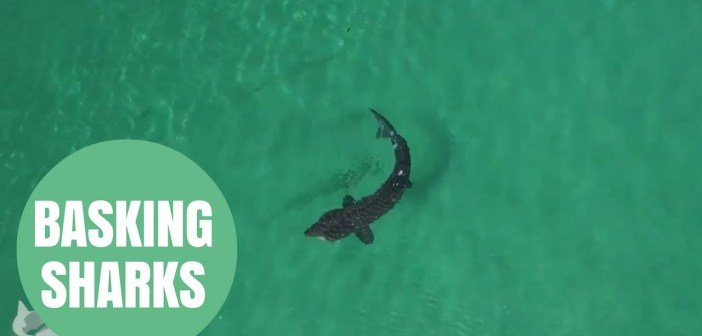 Stunning drone footage shows basking sharks off the coast of Scotland