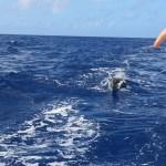 Madeira har forsvunnet i horisonten, og vi har besøk av vår gode venner - Delfinene!