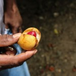 Muskattnøtta i egen frukt