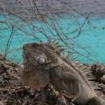 Iguana-alfahann