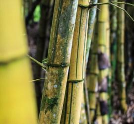Bamboo-boom
