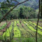 Salaten vokser godt på plantasjene i Minca