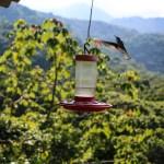 Kolibriene elsker sukkervann