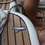 Turens største fangst var en selvmordsflyvefisk