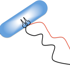 bacterial kill switch