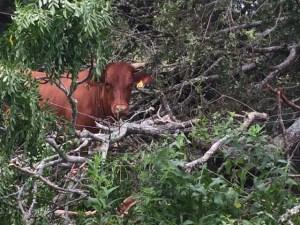 stalker cow