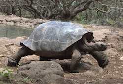 Galapagos Tortoise in the park of San Cristobal
