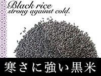 寒さに強い黒米